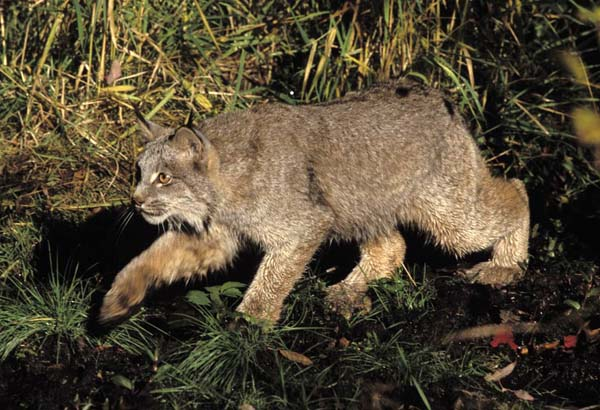 Canada Lynx | Lynx canadensis photo