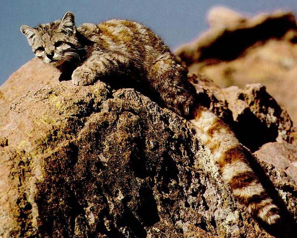 Andean Cat (Leopardus jacobitus)