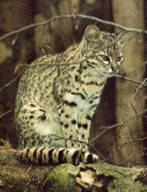 Colocolo (Leopardus colocolo)