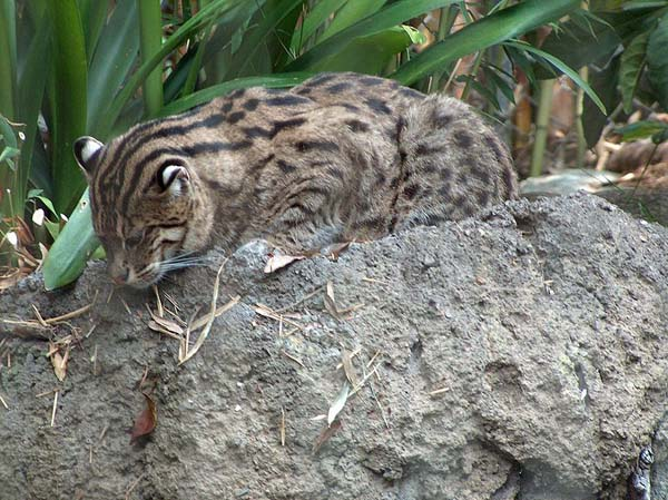 Rusty-Spotted Cat (Prionailurus rubiginosus)