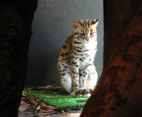 Iriomote Cat | Prionailurus iriomotensis photo