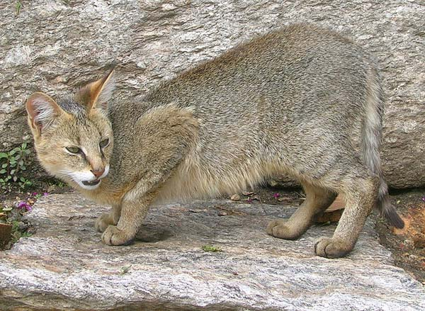 Wildcat | Felis silvestris photo