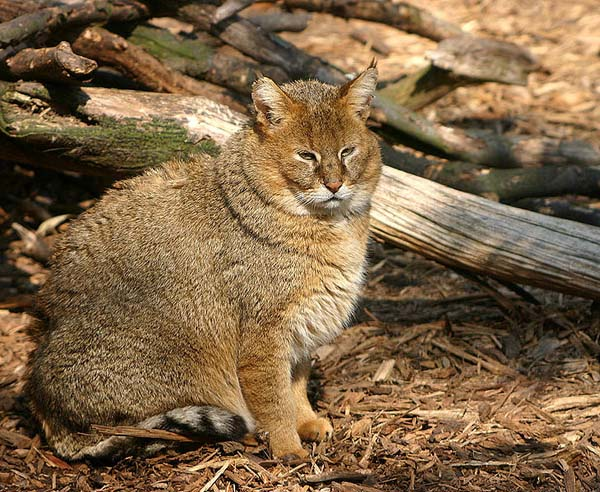 Jungle Cat | Felis chaus photo