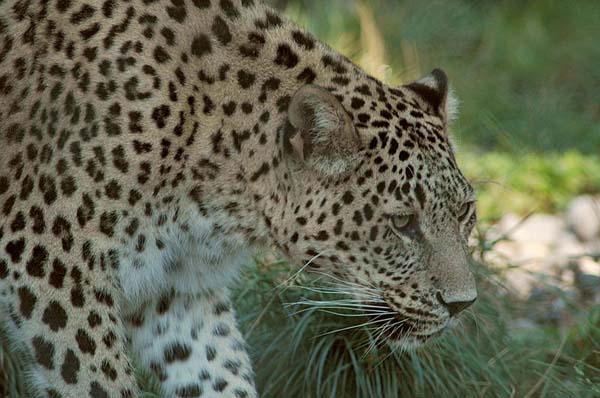 Leopard | Panthera pardus photo