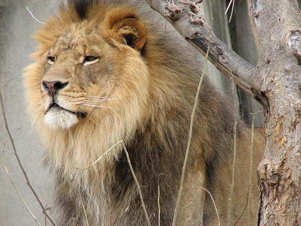 African Lion | Panthera leo photo