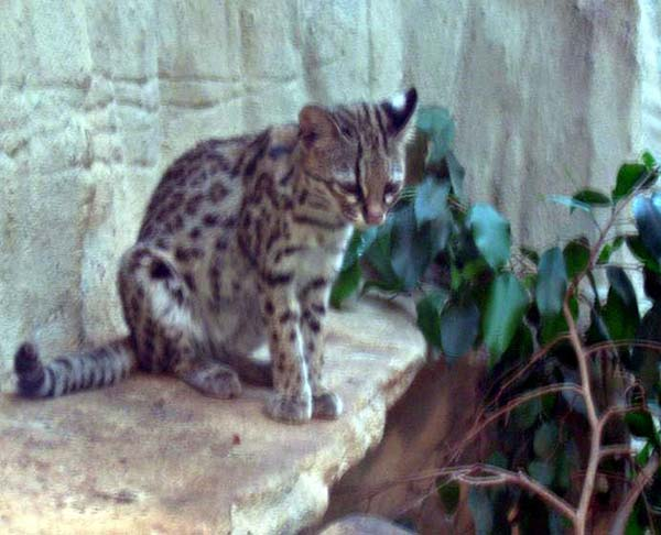 Oncilla | Leopardus tigrinus photo