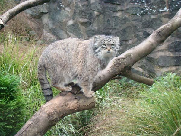 Pallas' Cat (Felis manul)
